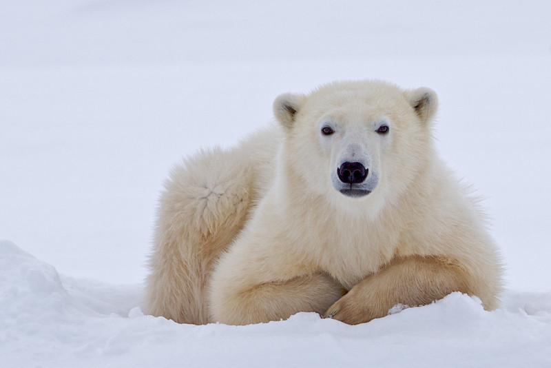 polar bear  5949