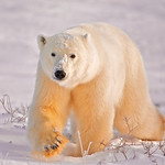 Polar Bear, Churchill, Manitoba