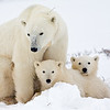 Polar bear family (Selected as one of the featured Google Home Page images, 2010. Over 8 million views as of Nov. 2012.)