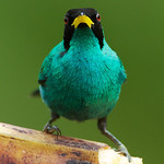 Green Honeycreeper.