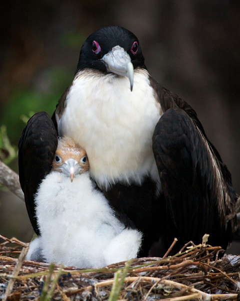 Frigate bird with chick