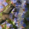 Hummingbirds : Mostly Anna's Hummingbirds, from the Palo Alto Baylands and Mountain View Shoreline Park. The males are the colorful ones.