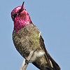 Anna's Hummingbird