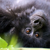 Rwanda Mountain Gorilla. (Selected as one of the ten finalists (from among 10,000 entries) in the Defenders of Wildlife 2010 photo contest.)