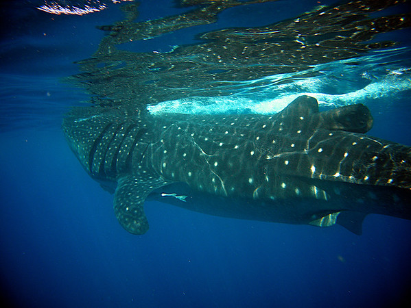 Nearly an entire whale shark -- this one was probably about 30 feet long.