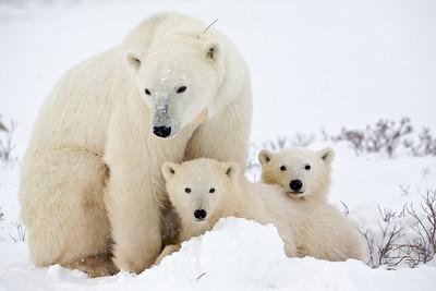 polar bear  5931